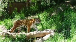 DSC00076 tiger copyright
